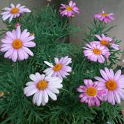 育てやすい春の花