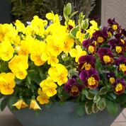 育てやすい冬の花