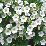 育てやすい夏の花