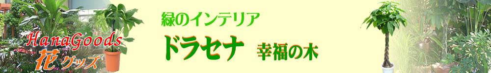 緑のインテリア・ドラセナ 幸福の木