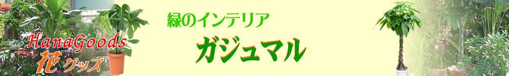 緑のインテリア・ガジュマル