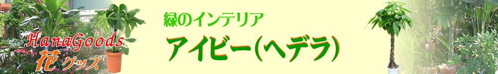 緑のインテリア・アイビー(ヘデラ)