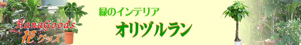 緑のインテリア・オリヅルラン