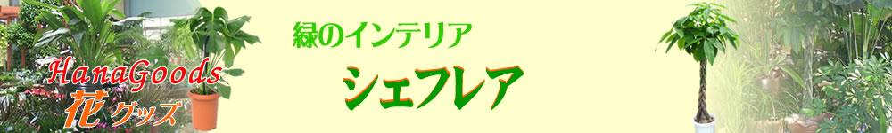 緑のインテリア・シェフレア