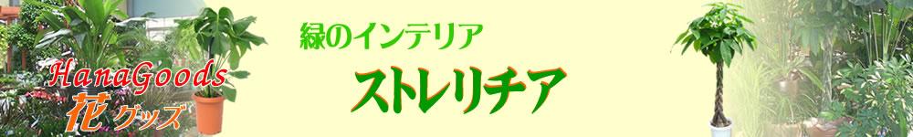 緑のインテリア・ストレリチア(ゴクラクチョウカ)