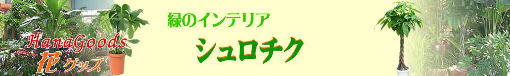 緑のインテリア・シュロチク