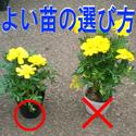 よい苗の選び方