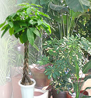 観葉植物・パキラ